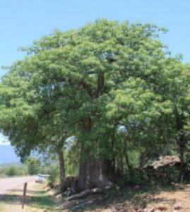 Adansonia kilima