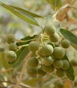 Boscia senagalensis