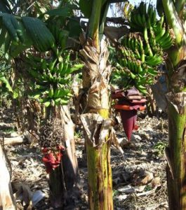 Musa xparadisica AAB Group