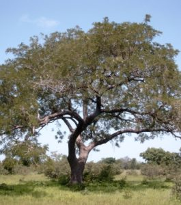 Parkia biglobosa