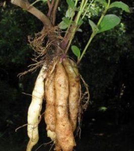 Plectranthus esculentus
