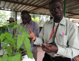 Tasked to identify orphan crops for DRC by the national agricultural research body, Dr Dowiya takes a leaf sample from a bean plant in an exercise at the African Plant Breeding Academy at ICRAF