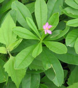 Talinum fruticosum