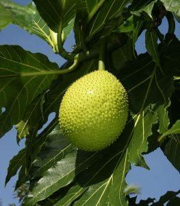 800px-artocarpus_altilis_fruit