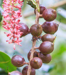 macadamia-ternifolia-fvmuell