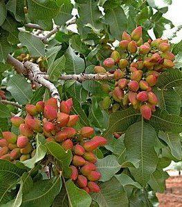pistacia-vera-slika-10695534